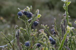 blueberry-november-autumn